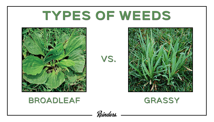 Lawn weeds can be distributed into two groups: broadleaf and grassy weeds. Broadleaf weeds typically have wider leaf blades and do not resemble grass (ex. Dandelion). Broadleaf weeds will often bear colorful flowers of different shapes and sizes. On the other hand, grassy weeds have long, narrow leaves void of any color or unique leaf shape.
